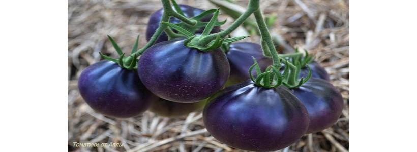 Tomat 7