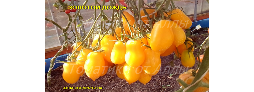 Tomat 5